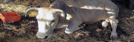 naslovna krava bolna